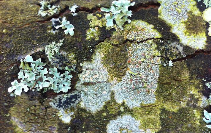 Simbiosis sobre tronco de madera de la Borgoña (Taize)